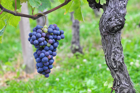 wine grapes: Red grapes