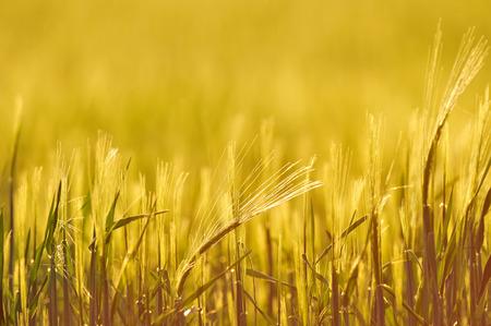 iluminado a contraluz: Back-lit campo de cebada, de cerca, profundidad de campo