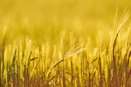 backlit: Back-lit field of barley, close up, shallow depth of field Stock Photo