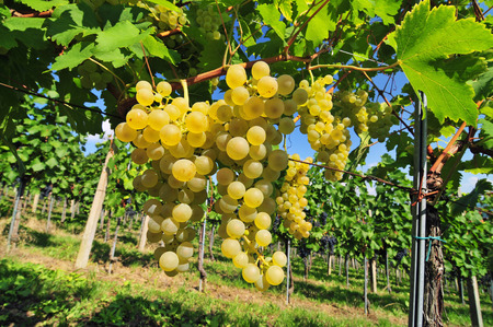 Fresh white grapes growing in a vineyard Imagens