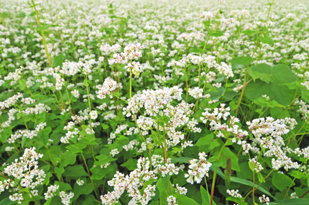 Photo of field of buckwheat with white blossoms