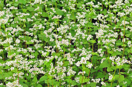 buckwheat: Photo of field of buckwheat with white blossoms