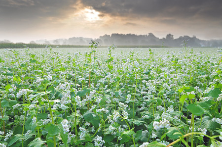 Field of buckwheat with cloudy sky in the background