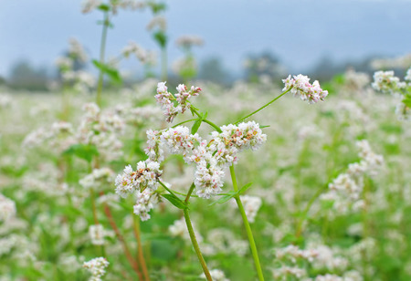 buckwheat: Close up photo of white buckwheat blossom