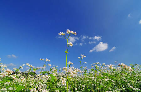buckwheat: White buckwheat blossom with blue sky in the background Stock Photo