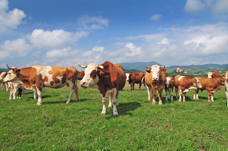 cow grass: Cow herd in a field and blue sky in the background