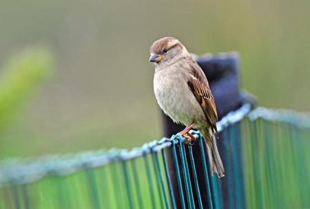 Photo of female house sparrow on a fence Stock fotó