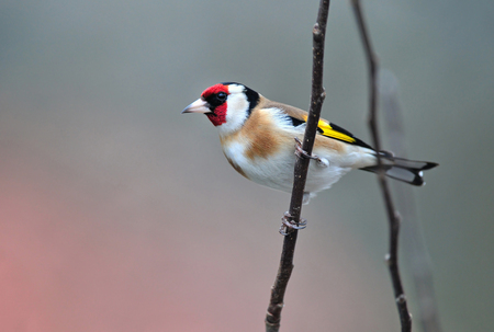 Photo of goldfinch standing on a twig Standard-Bild