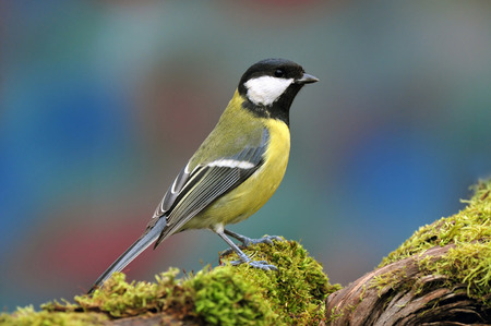 Photo of great tit standing on a tree stump