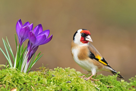 goldfinch: Photo of goldfinch standing next to crocus flower Stock Photo