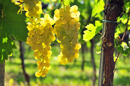 racimos de uvas: Volver lit uvas blancas Foto de archivo