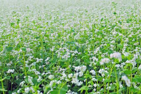 Field of buckwheat