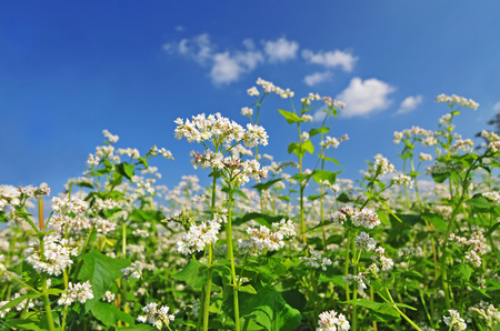 buckwheat: Field of buckwheat