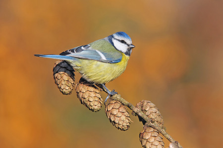 cyanistes: Photo of Blue tit perching on a twig