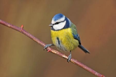 小枝に止まった青シジュウカラの写真