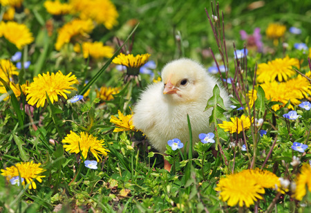 Photo of young chicken in a grass Standard-Bild