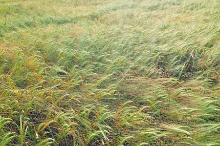 cebada: Foto del campo de la cebada cultivo al aire libre
