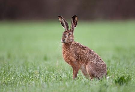 animalitos salvajes: liebre marr�n salvaje con grandes orejas que se sientan en una hierba