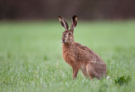Wild brown hare with big ears sitting in a grass Banco de Imagens