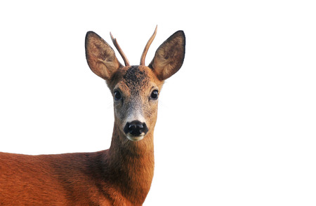 roebuck: Close up photo of roe deer, isolated on white
