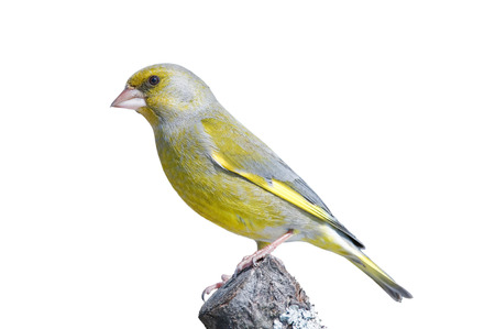 Greenfinch perching on a branch, isolated on white Imagens