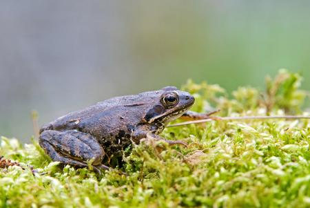 Photo of moor frog on a moss