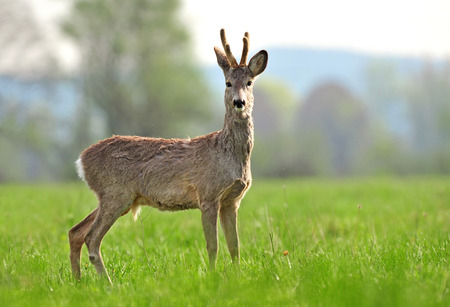 Photo of wild roe deer in a coat changing process