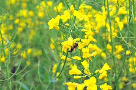 rappi: Bee collecting pollen from yellow rapeseed blossom