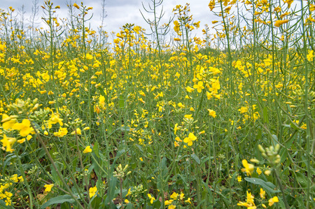 rappi: Photo of field of rapseed, with sky in the background