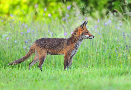 red fox: Photo of red fox in a field