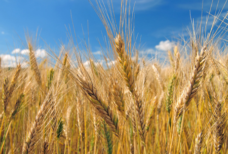 Close up of barley field on a sunny day