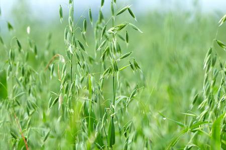 oat plant: Close up photo of a oat plant