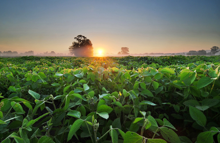 Field of soybean in the early morning Stock Photo