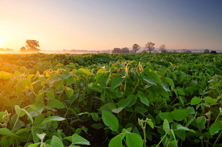 soja: Field of soybean in the early morning Stock Photo
