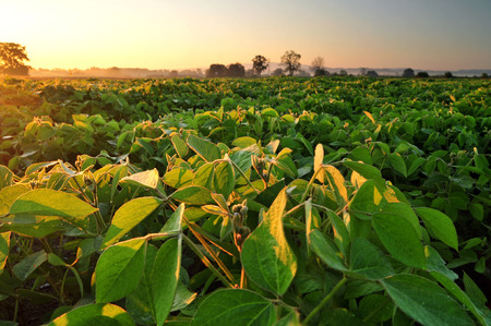 soya bean plant: Field of soybean in the early morning Stock Photo