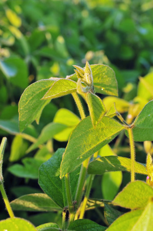 soya bean plant: Close up photo of a soybean plant Stock Photo