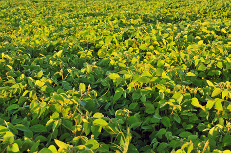 soya bean plant: Field of soybean on a bright sunny day
