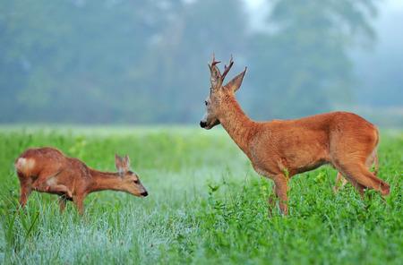Salvaje corzo y el cachorro de corzo en un campo