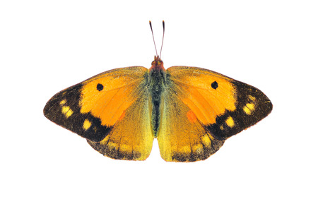 Dark clouded yellow butterfly - female, on white background Stock Photo