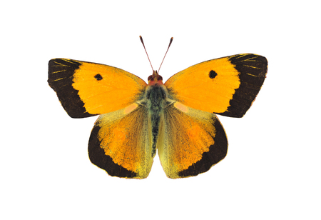 Dark clouded yellow butterfly - male, on white background Stock Photo