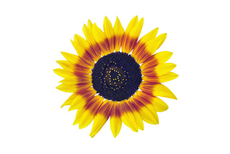 Sunflower blossom, isolated on a white background