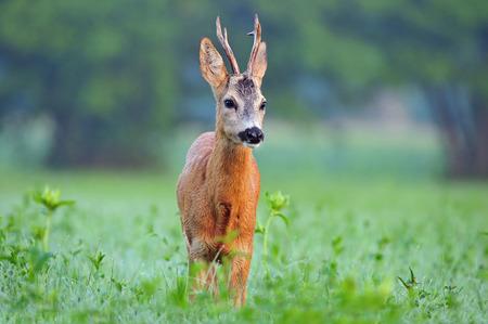 roebuck: Wild roe deer (Capreolus capreolus) standing in a field