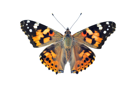 Painted lady butterfly, isolated on white background Foto de archivo