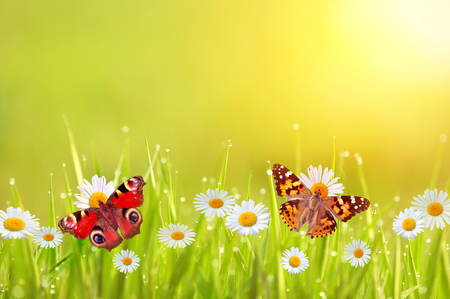 inachis: Beautiful butterflies and daisies in a lawn Stock Photo