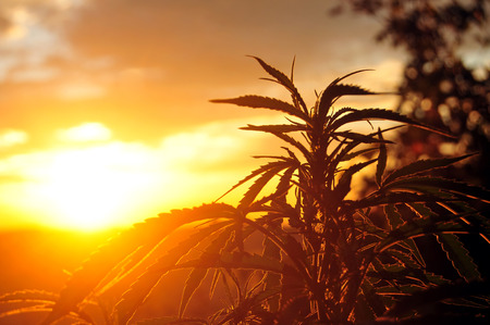 Silhouette of cannabis plant in early morning light