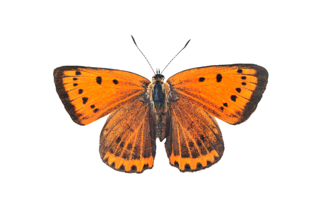 Large copper butterfly (lycaena dispar), isolated on a white background Stock Photo