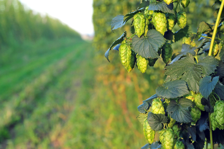 common hop: Close up of ripe green hops, growing in a field