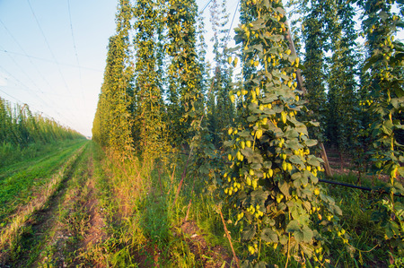 common hop: Field of ripe green hops on a sunny day Stock Photo