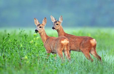 cubs: Two roe deer cubs in a field