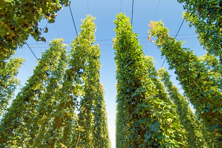 common hop: Green hops plantation with blue sky above Stock Photo